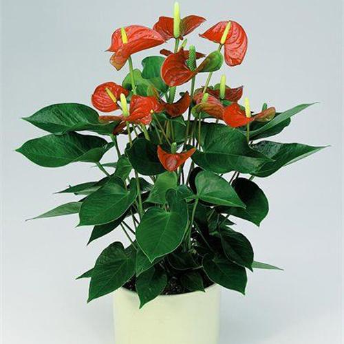 עציץ אנטוריו (פרח האהבה) בכלי קרמיקה