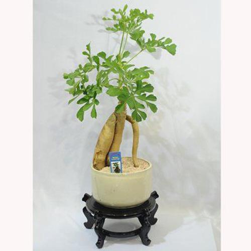 עץ האושר בכלי קרמיקה
